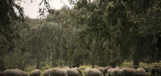 Los cerdos ibéricos se alimentan a base de bellotas en las dehesas propiedad de Aljomar
