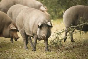 cerdos Jamones Aljomar